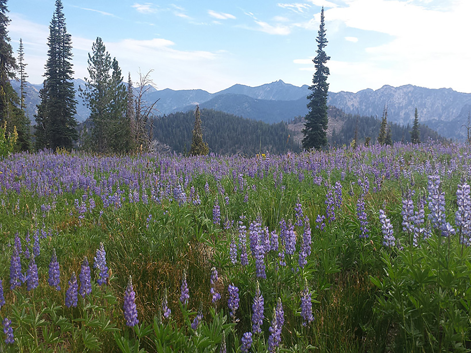 Boulder Mountain Lupines McCall Ranger District.