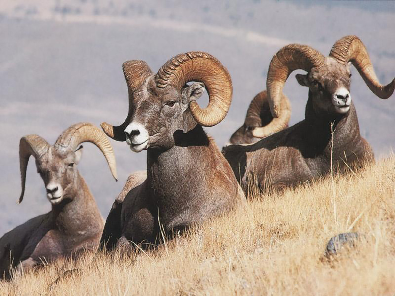 Big Horn Sheep on the Payette National Forest.